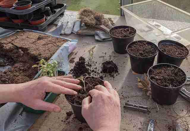 small amount of sterilized soil in pots