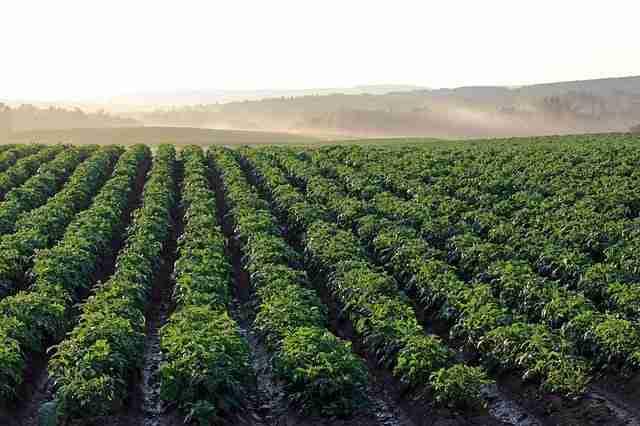 sunlight shining on potato field rows