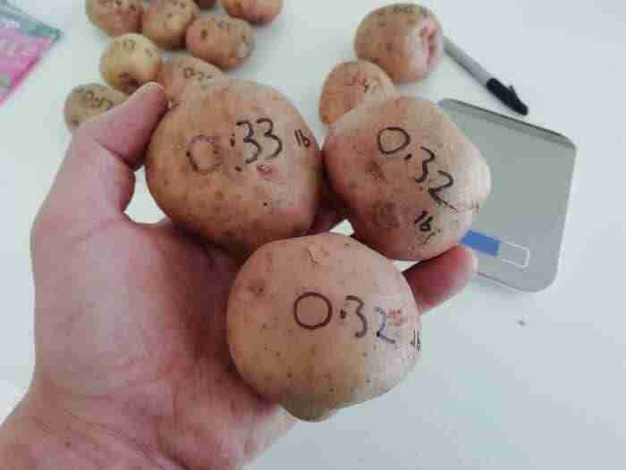 three medium sized kerrs pink potatoes held in a mans hand weighing a total of one pound