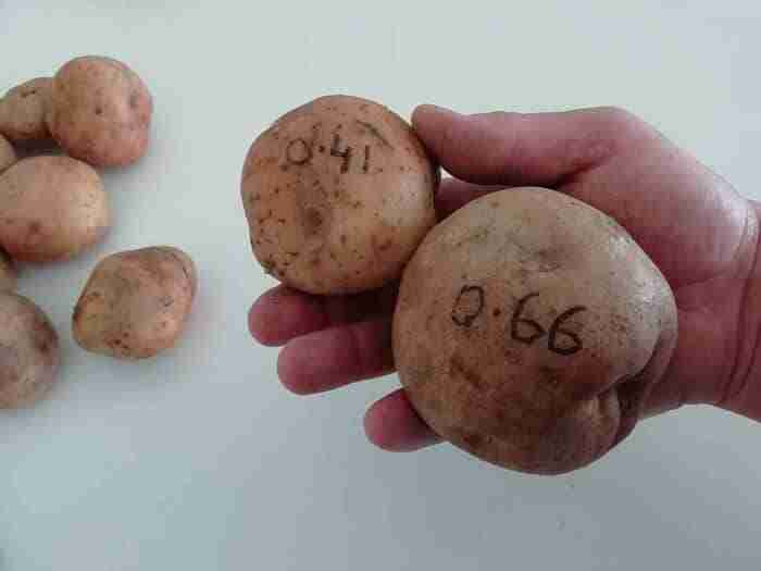 two medium large kerrs pink potatoes held in the palm of one hand weighing one pound