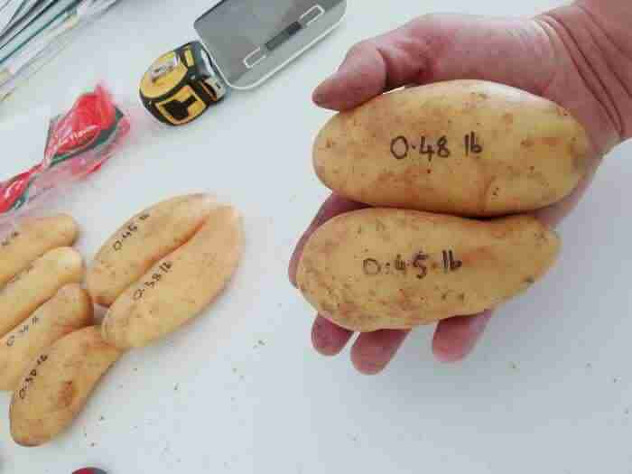 two medium large sized white potatoes in a mans hand with the indivdual weights written on each one totalling one pound.
