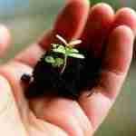 two seedlings germinating on sterilized soil