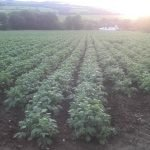 a field of very healthy potatoes growing well