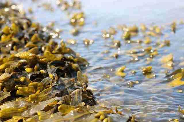 seaweed half submerged in sea water