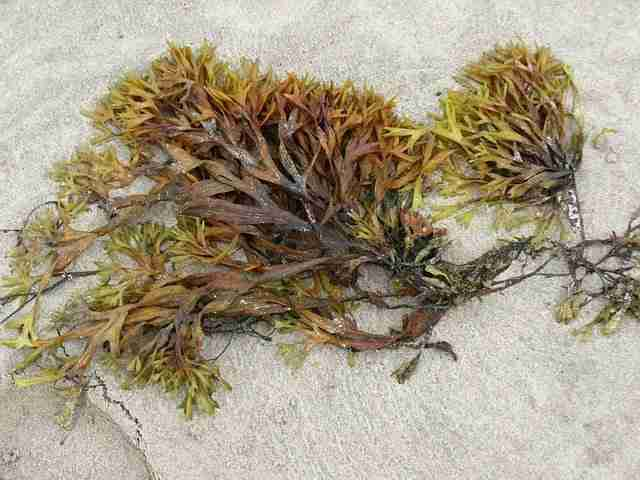 seaweed washed up on the beach