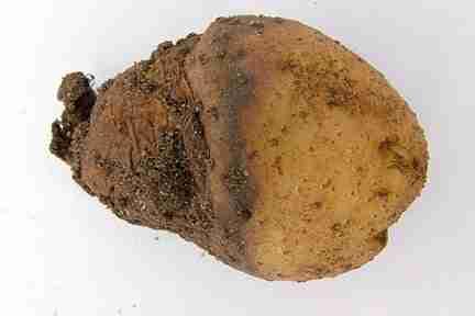 eelworm damage on a potato
