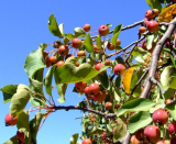 Are Crab Apples Poisonous To Dogs?