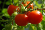 Best Tomato Varieties for a Greenhouse