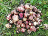 What Are The Differences Between Turnips and Swedes