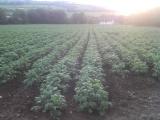 Secrets To Growing Potatoes