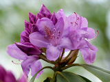 What Type Of Soil Do Rhododendrons Like?