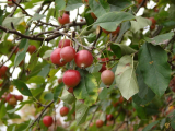 Can You Eat Crabapples?