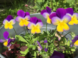 Easiest flowers to grow in pots: and to maintain.
