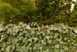 Best Time to Cut Hedges Back: when and how