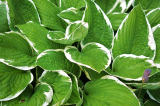 When Is the Best Time To Plant Hostas?