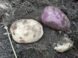 How Long Are Potatoes Good For: storing and eating