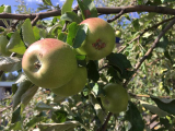 How To Prune An Apple Tree In Winter