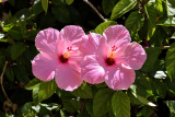 How Do You Take Care Of A Potted Hibiscus Plant