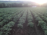 The Best Tasting Potatoes to Grow: variety selection