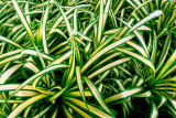 What Are Spider Plants Good For
