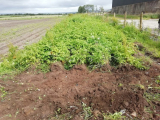 When To Harvest Potatoes: when are they ready?